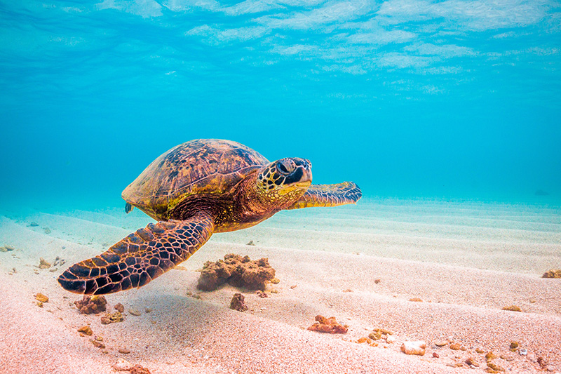 Photo of a sea turtle swimming along a sandy bottom with clear blue water.